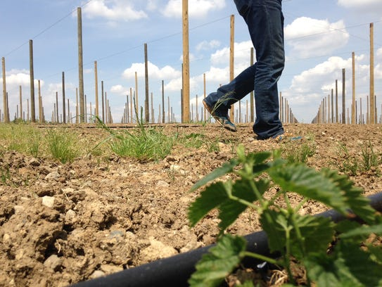 Co-owner Ryan Hammer walks past a newly planted hop