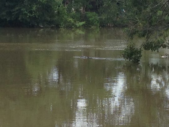 An alligator swims past the Domingue home on Water