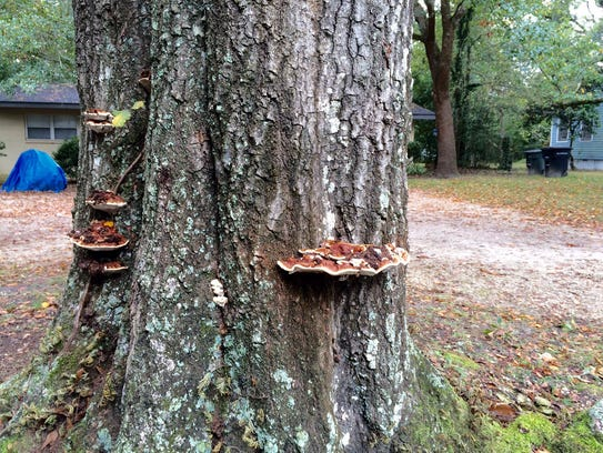 he presence of mushrooms on a tree is a warning of