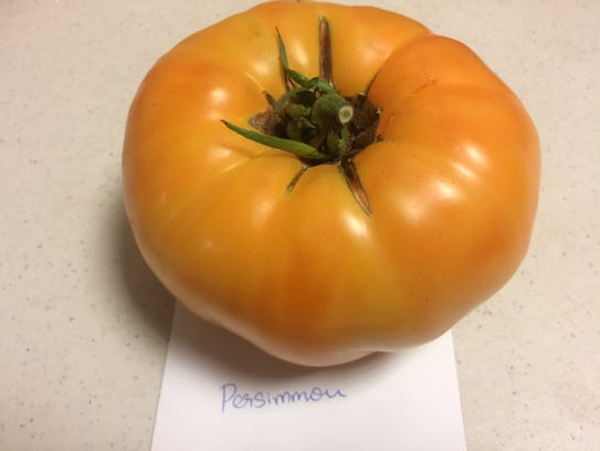 The Persimmon tomato is an heirloom variety from Russia,