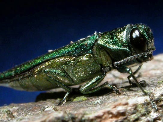 The emerald ash borer, an invasive beetle, is destroying