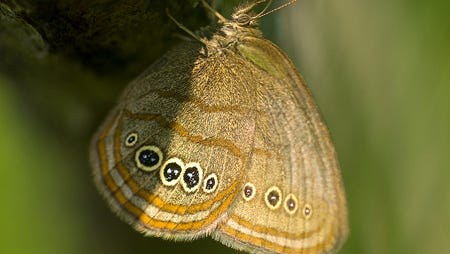Mithchell Satyr Butterfly @ Liberty Fen, Jackson Co.