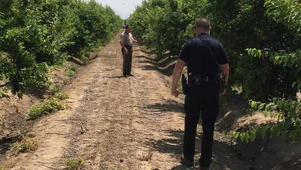 A Dinuba police sergeant, in the foreground, and a Tulare County sheriff's deputy walk Wednesday morning between rows of plum trees in an orchard about a mile south of Dinuba looking for evidence of a shooting that left one field worker dead and two wounded.