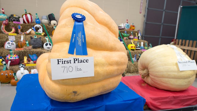 The largest winning pumpkin at the York Fair weighs 710 pounds. Regular decorated pumpkins are behind it