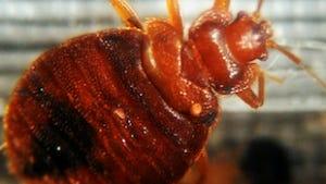 Bed Bug, Cimex lectularius.