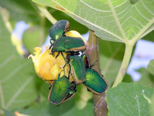Green Metallic June Beetles eating a fig.