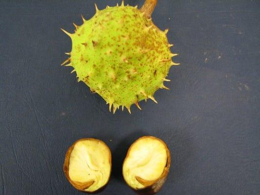 635793025200931137-10-05-2015-Horse-chestnut-fruit