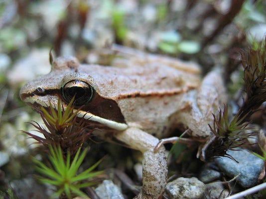 635936578942350640-MichaelZahniser-800px-Lithobates-sylvaticus-wood-frog-.jpg