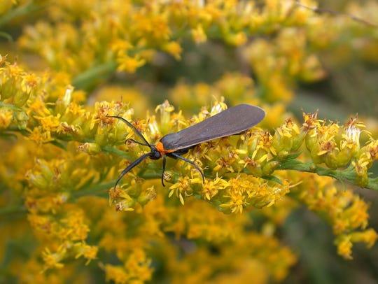 A ctenucha moth on goldenrod.