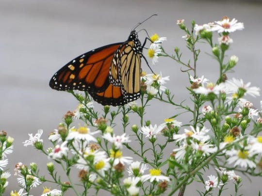 The Cradle of Forestry will host a program on monarch butterflies Sept. 18.
