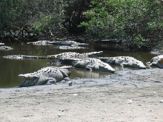 Crocodiles gather at an estuary in Costa Rica, a spot