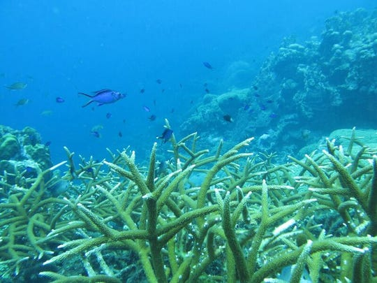 Stag coral transplanted into the ocean is replenishing