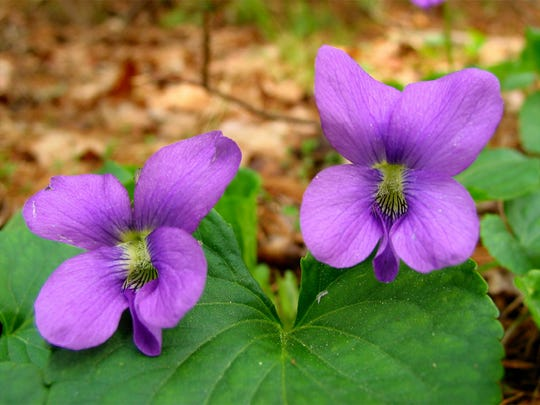 The New Jersey state flower is known variously as the common meadow violet, the purple violet and the blue violet.