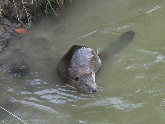 Many homeowners like to see beavers nearby, until the