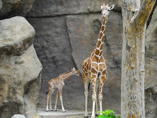Beau the giraffe, born June 10, is shown with his mother Stella at the Philadelphia Zoo.