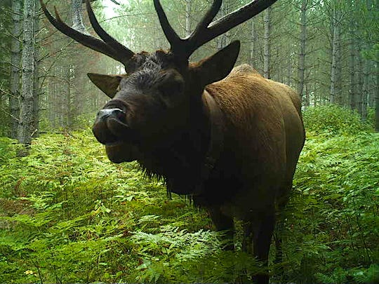 A bull elk was captured by a Snapshot Wisconsin trail