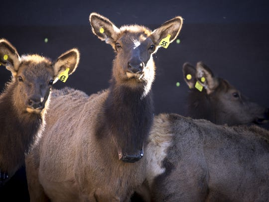 Elk wait in a holding pen at the Raymond Wildlife Area after being captured. After a 30-day quarantine, the elk will be trucked to West Virginia for an ongoing elk restoration project.