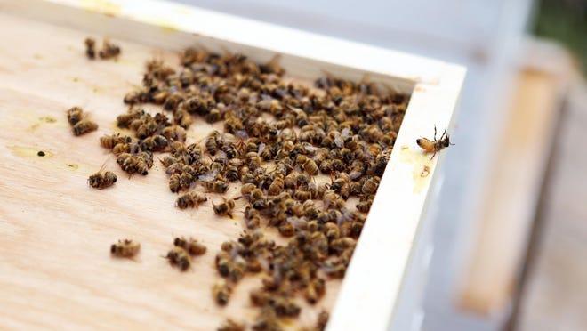 Dead honeybees pile up in an Estacada hive in 2014.