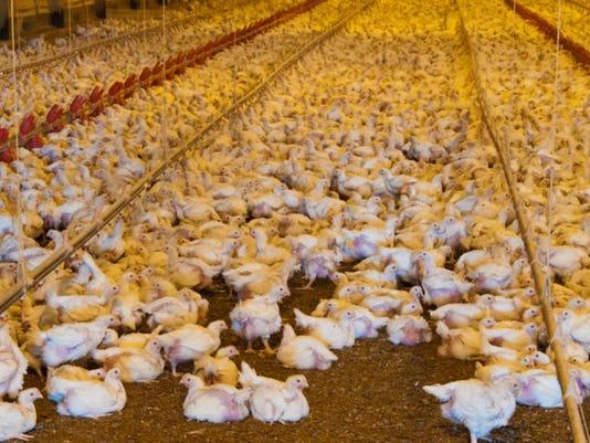 Broiler-birds-USDA.JPG