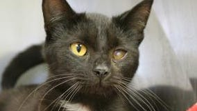 Harper is available for adoption at the Licking County Humane Society.