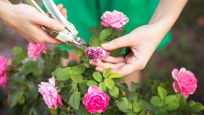 Trimming roses