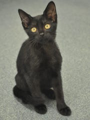 Of the 67 cats for adoption at Humane Society Naples, 32 are black or black and white.