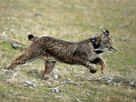 saving the iberian lynx from extinction one cat at a time