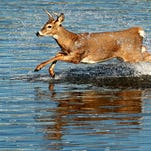 A young white tail deer jumps through the Des Moines River in 2011 just below the Center Street Dam in Des Moines. The deer had worked its way up the river to the dam and couldn't get past the waterfall. It escaped back down stream to the confluence of the Des Moines and Raccoon rivers by swimming and walking in  shallow water.