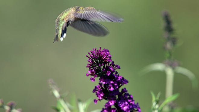 A female broadtail hummingbird prepares to lap up some nectar of a butterfly bush.