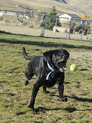 A lab chases a ball at the Dayton Valley Dog Park.