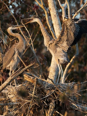 Great blue heron chicks squawk at each other on Feb. 2, 2018, on the Kissimmee River at Camp Mack's River Resort in Lake Wales. The South Florida Water Management District reported an above-average 2017 wading bird breeding season.