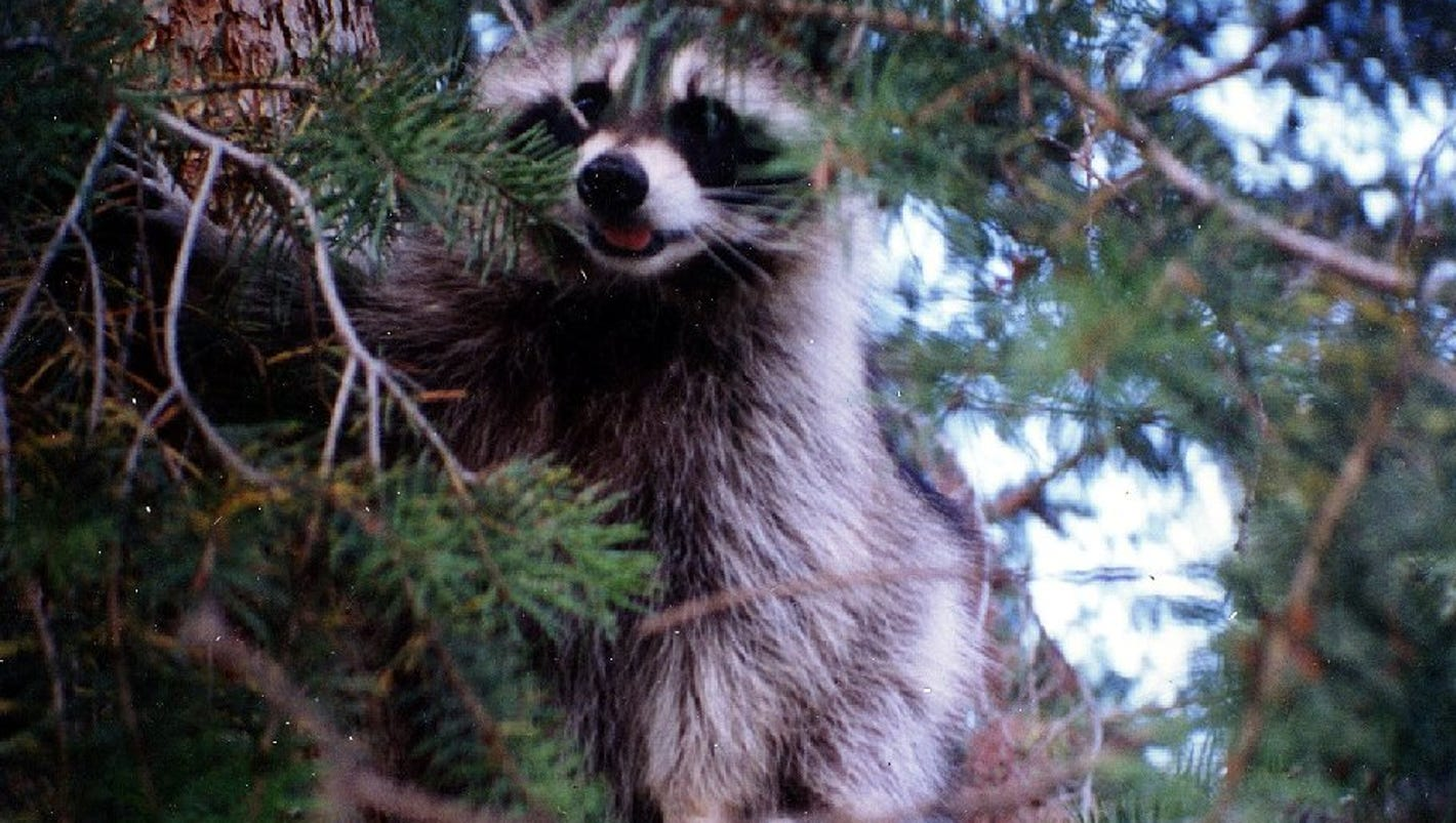 raccoon versus energy transformer ends in fire power outage