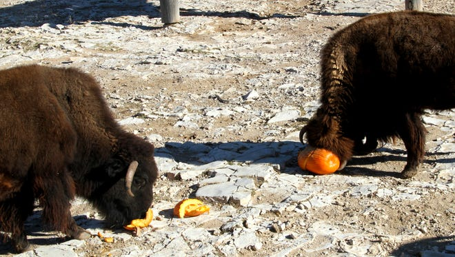 A bison uses its horns to break open a pumpkin.