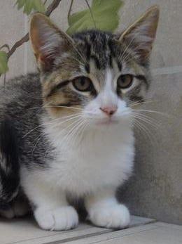 Matt is a kitten available for adoption.
