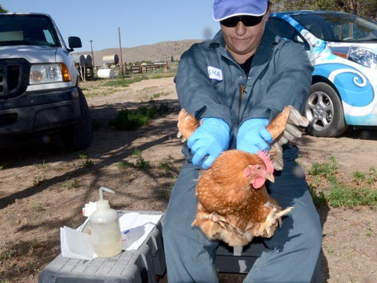 Natasha Smith, an intern with the Washoe County Health District, prepares to draw blood from a chicken's comb to test for West Nile Virus and other mosquito transmitted diseases on Monday at a Reno farm.