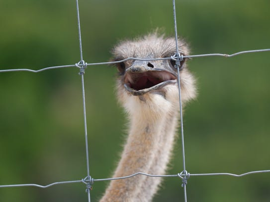 An ostrich at the Promised Land Zoo in Branson.