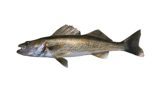 Walleye: flesh is firm, white, fairly dry and virtually free of bones.