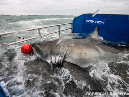 Lydia, a great white shark, was tagged in March 2013 within sight of Jacksonville Beach and the St. Johns River.