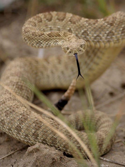 2 Rattlesnake