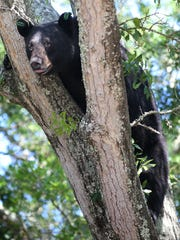 A black bear perches in a tree in Panama City. Wildlife officials relocated the same bear to a forest some 90 miles away last month. AP A black bear perches in a tree in Panama City, Fla. on Tuesday, May 6, 2014. Wildlife officials relocated the same bear to a forest some 90 miles away last month. (AP Photo/The News Herald/Panama City, Fla., Andrew Wardlow) MANDATORY CREDITa