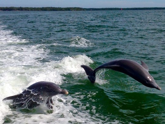 Dolphins, inherently curious about passing boats, are a common and always thrilling sight along Florida waterways.