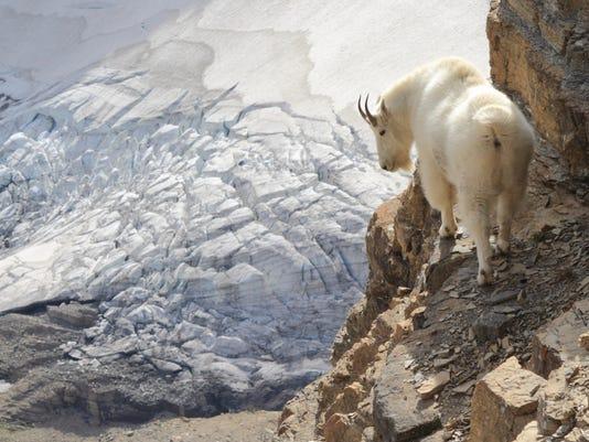 636652685999210450-w-Mountain-Goat-Sexton-Glacier.JPG