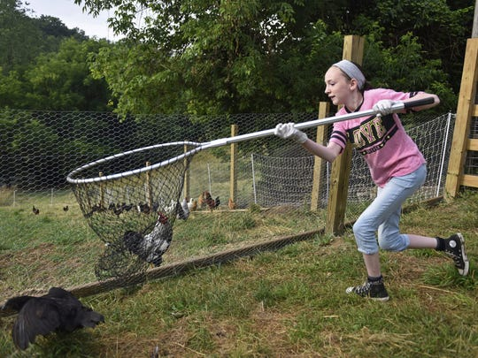In this Thursday, July 6, 2017 photo, Madison Mowery, 11, attempts to scoop up a chicken she is chasing with a net at her family's Moon Township, Pa. farm, while helping her father corral the birds back into their coops.