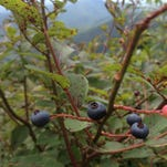 Balsam Range rises behind blueberry bushes with fruit ripe for picking.