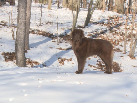 Shaggy, spotted Tuesday in Cascade Township. (Jan.