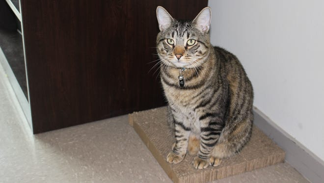 Junior is Taylor Petrizzo's 18-pound emotional support animal. Junior lives with  Petrizzo and her roommates at Florida SouthWestern State College.