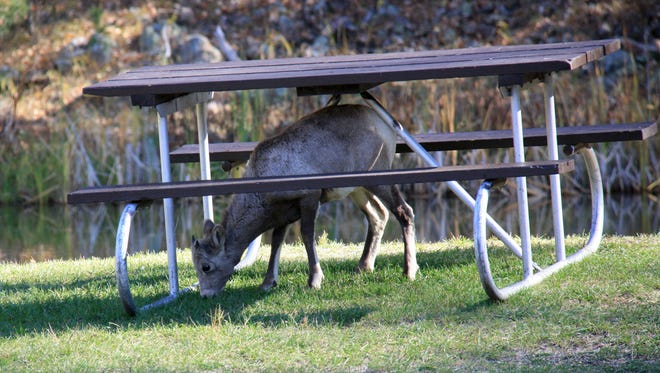 A juvenile bighorn sheep feasts on grass under the picnic table at Custer State Park.