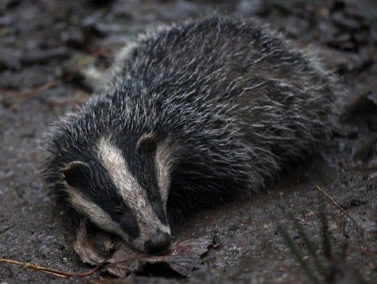 A badger at Don Hunford's property in Benfleet, England.