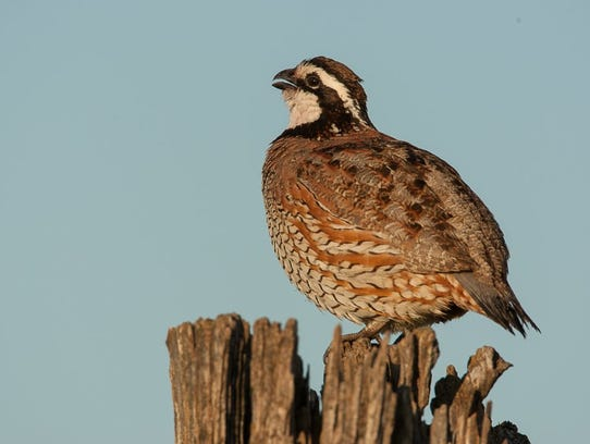 The decline of bobwhite quail will be the subject of