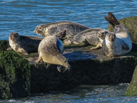Harbor and grey seals are a crowd favorite during the